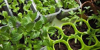 Pěstování sazenic: Přišel čas otužovat sadbu