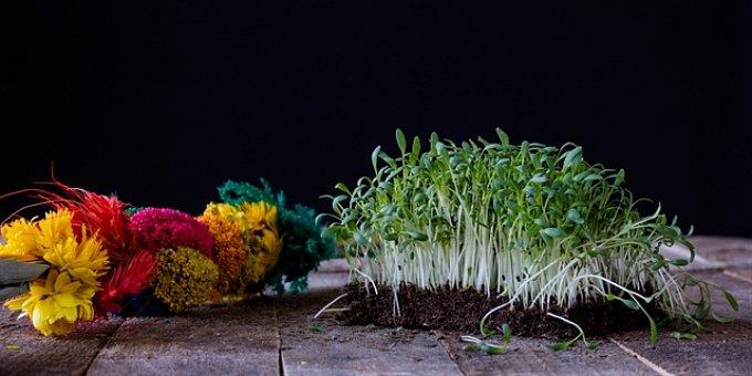 Jak vypěstovat zelené osení na poslední chvíli. Vyklíčí řeřicha i čočka