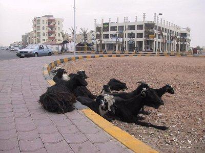 Kozy na kruháči - Kozy na kuhovém objezdu v Hurhadě.