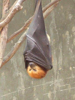 Ovocný netopýr