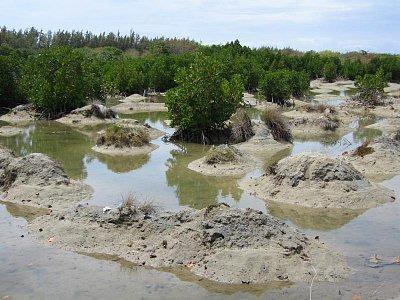 Mangrovy při pobřeží