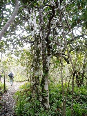 Vzácné stromy ebenového lesa