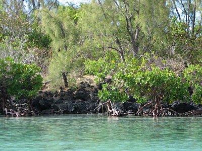 Mangrový porost