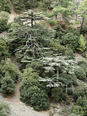 Endemitské cedry v Cedrovém údolí - pohoří Troodos (nahrál: vsv)