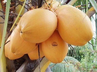 kokosy (nahrál: admin)