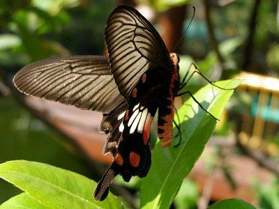 3.ukážka thajskej fauny - Nádherný Papilio... (nahrál: V.Revický)