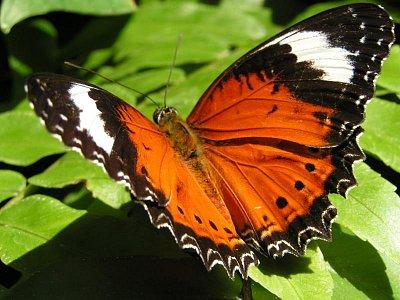 Australian Butterfly Sanctuary (nahrál: admin)