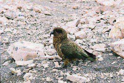 pták Kea (nahrál: admin)