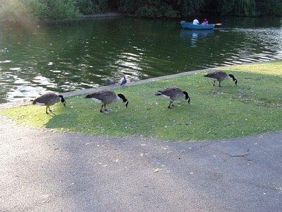 Kachny v St. James parku (nahrál: admin)