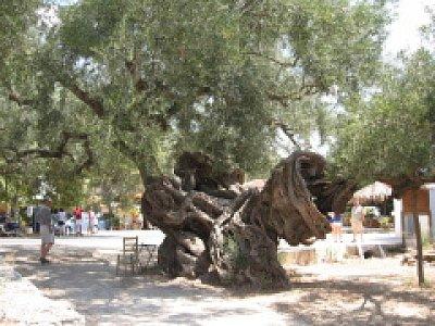Exo Chora-starý olivovník (nahrál: Rea)