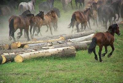 Norik muráňského typu - tak se jemnuje zdejší plemeno koní, které vzniklo křížením huculů s plemeny norik, fjord a haflig. (nahrál: Bohumil Prazský)