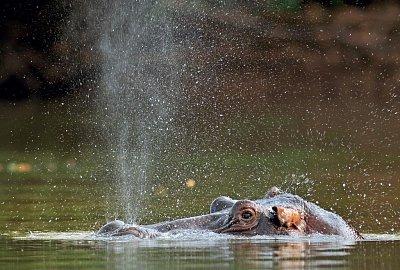 Hroch obojživelný v řece Gambie (nahrál: Bohumil Prazský)