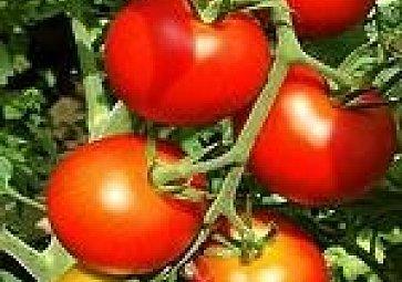 Ovoce keřů rajských jíme