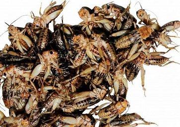 Larvy a švábi místo vepřového?