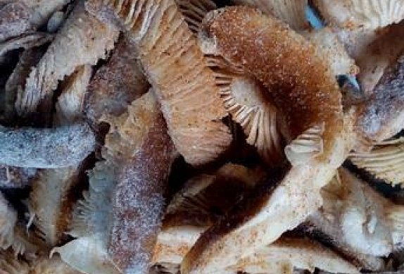 Houbové škvarky z václavek či bedel